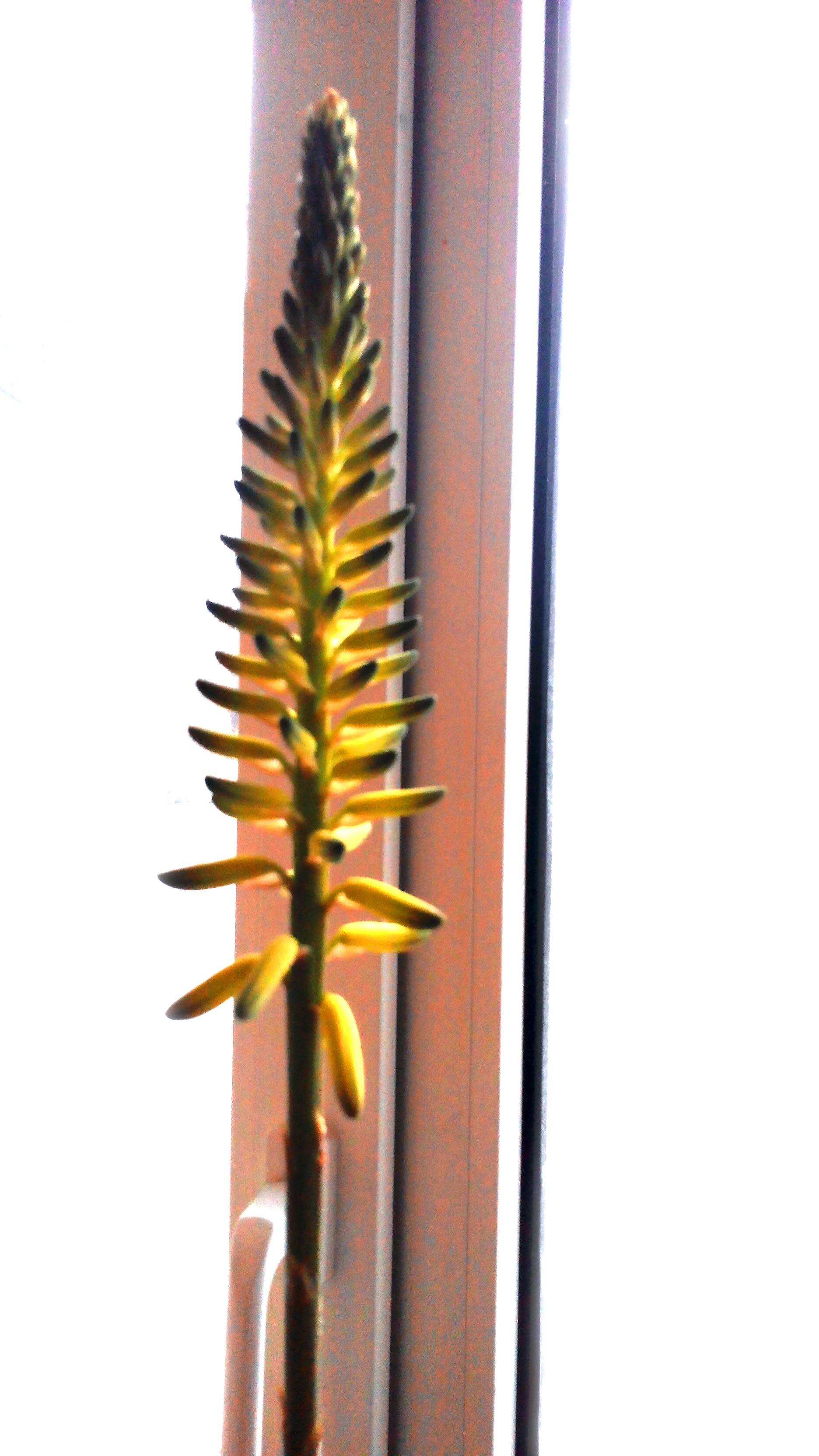 Цветонос Алоэ вблизи. Фото 1